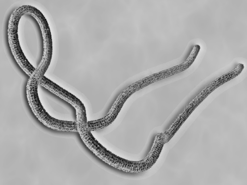 Ebola Virus Part II: Infection And The Immune Response