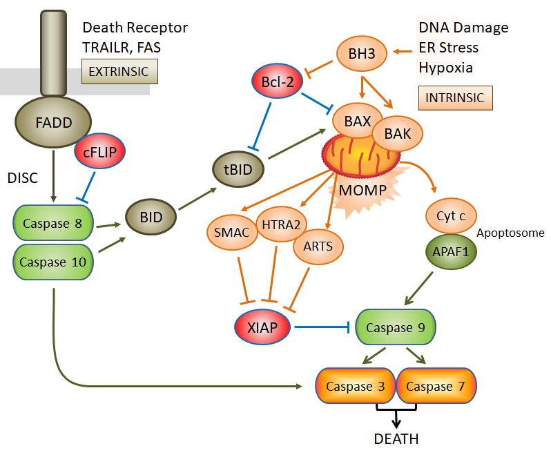 Apoptosis: Breaking Up Is Hard To Do